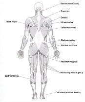 anatomy physiology distance education | human biology, Muscles